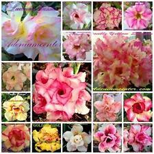 "ADENIUM OBESUM "" DOUBLE & TRIPLE FLOWERS "" MIXED / ASSORTED 100 seeds  SET 1"
