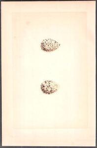 1870 vintage MORRIS bird egg RINGED DOTTEREL original woodblock print by Fawcett