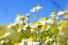 1000 Samen Echte Kamille - Matricaria recutita  - Drudenkraut - Saatgut 001388