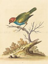 GEORGE EDWARDS ENGLISH RED HEADED FINCH SURINAM ZOOLOGY PRINT POSTER BB5452A