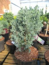Chamaecyparis lawsoniana Patente CIPRESSO GIALLO Ivonne 60-80cm