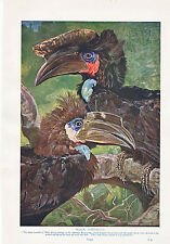 1910 NATURAL HISTORY DOUBLE SIDED PRINT ~ BLACK HORNBILLS / KINGFISHERS LYDEKKER