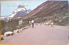 Montana Postcard BIG HORN SHEEP IN GLACIER National Park On Road Many Glacier