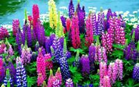 200Pcs Lupine Flowers Rare Seeds Beautiful Colorful Perennial Garden Flowers
