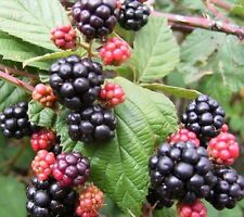 Old fashioned blackberry hardy perennial 2 live plants with thorns