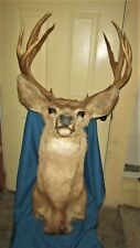 Vintage Taxidermy 8x8 Mule Deer Shoulder Mount Safari Club Glen Park Collection