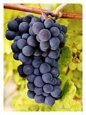 "Vitis vinifera Rembrandt-Grape Plant in 3.5"" pot"