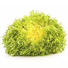 2g (approx. 900)  endive seeds CICHORIUM ENDIVIA mild flavor and a crisp texture