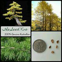 30+ EUROPEAN LARCH TREE SEEDS (Larix decidua) BONSAI Autumn Decoration Hardy