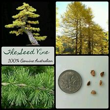 30+ EUROPEAN LARCH TREE SEEDS (Larix decidua) BONSAI Autumn Decoration Hardy