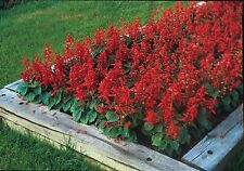 Flower - Kings Seeds - Pictorial Packet - Salvia - Blaze of Fire