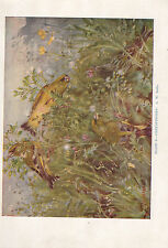 VINTAGE BIRD PRINT ~ GREENFINCHES ~ SEABY