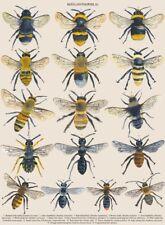 A3 VINTAGE BRITISH BEE POSTER PRINT NATURE WILDLIFE CHART ART PRINT ANIMAL GIFT