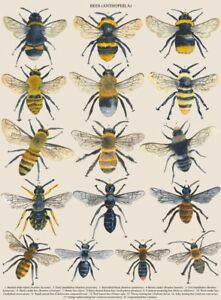 A3 VINTAGE BRITISH BEE POSTER PRINT NATURE WILDLIFE CHART ART PRINT ANIMAL GIFT