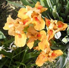 1 Orange Tiger Dwarf Bearded Iris Rhizome