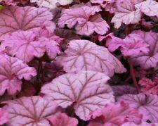 Heuchera Loam Perennial Flowers & Plants