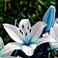 Rare Blue Lily Seeds Stargazer Scented Perennial Home Garden Flowers Bulbs 50pcs