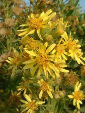 1000 semi Inula Viscosa - pianta estremamente mellifera - Dittrichia - ITALIA