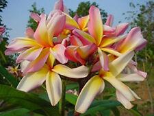 "5 Fresh Seeds Frangipani Plumeria ""Leela"""