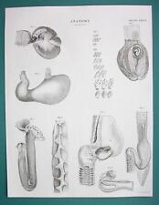 ANIMAL ANATOMY Stomach of Birds Human Sturgeon - c. 1835 Fine Quality Print