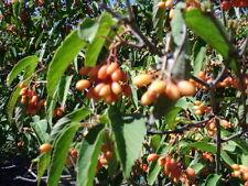 20 Tea Viburnum Seeds - viburnum setigerum