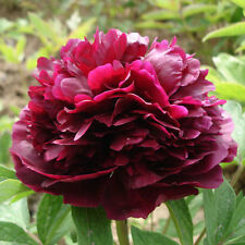 10pcs Seed China Peony Paeonia Suffruticosa Garden Flower Seeds Deep Red