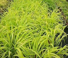 Milium effusum Aureum Golden Wood Millet Ornamental Grass 30 Seed Hardy FreeUKPP