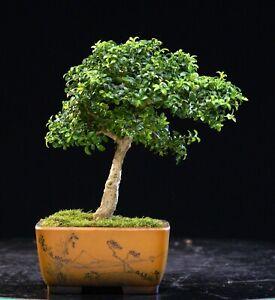 Kingsville Boxwood Bonsai Tree KBM-622B