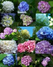30 Hydrangea Flowers Seeds Rare 7 Colours Beautiful Decoration for Home Garden
