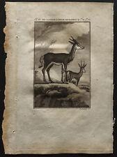 1799 - Buffon - La gazelle ou chêvre sautante du Cap - Gravure