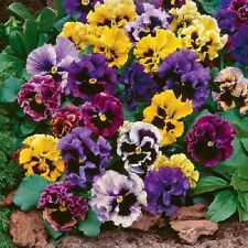 FLOWER PANSY MASTERPIECE ROCOCO MIX 500 FINEST SEEDS