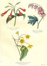 BOTANICALS. Lisianthus puleber; Dicentra spectabilis; tylophora lutescens 1852