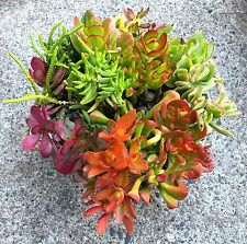Beginners Crassula Variety Succulent Collection 10 Cuttings + 2 FREE