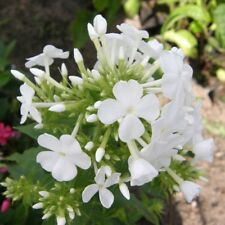 Phlox SOFT PINK Flammenblume zartduftender Dauerblüher Schmetterlingsmagnet