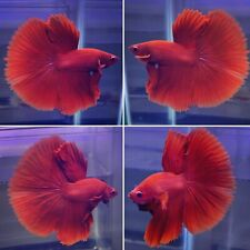 *Super Solid Red* Halfmoon Fancy Tail  - High Quality Grade A