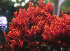 Live Dragon's Breath Tongue Fire Macro Algae Plant Refugium Coral Reef Saltwater