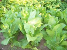 """New listing Organic Seeds Smoking Tobacco """"Burley"""" (Nicotiana tabacum) Strong. 5000 seeds"""