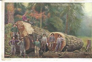 POSTCARD FELLING BIG TREES
