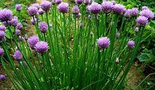 600 Graines de Ciboulette à Feuilles Fines / Allium Schoenoprasum