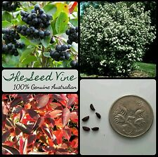 20+ BLACK CHOKEBERRY SEEDS (Aronia melanocarpa) Fast Growing Shrub Edible Fruit