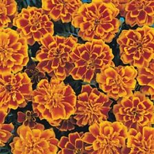 200 Bonaza Flame French Marigold Seeds BULK SEEDS