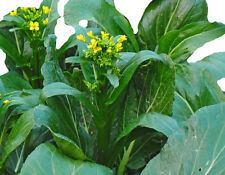 Chinese Cabbage CHOY SUM Hong Kong Greens 150 seeds Asian Vegetable Seeds