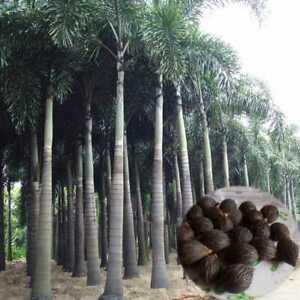 Foxtail Palm Viable Seeds Wodyetia Bifurcata Grarden Plant new Fresh 5~10 Seeds
