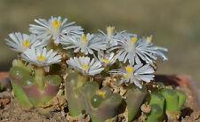 20 Conophytum concordans SH2067 COP44-65 semi seeds sementi korn rari