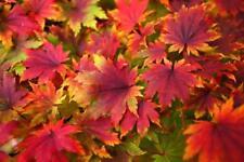 25+ Graines Acer pseudosieboldianum, Korean maple tree Seeds
