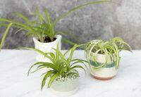 Spider Plant (Chlorophytum) - Amazing air cleaner! (Airplane plant)