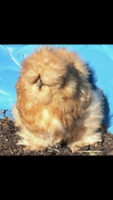 6 Show Quality Silkie Hatching Eggs( Crested, Bearded and Tufted, Naked Neck)
