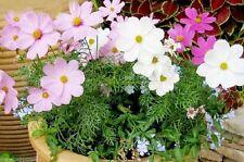 500 Cosmos Bipinnatus Seeds Mexican Aster Cosmea Bipinnata Wild Flower Mix Color