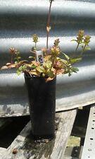 1 x self heal plant - tube size prunella vulgaris perennial herb