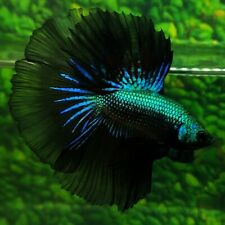 Live Betta Fish Super Green Black Samurai HM Male from Indonesia Breeder